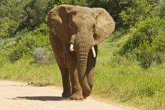 Afrikanischer Elefant, der entlang eine staubige Straße geht Stockbilder