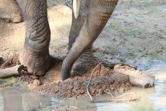Afrikanischer Elefant, der etwas in einem Schlamm und in einer Pfütze sucht Lizenzfreie Stockfotos