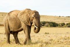Afrikanischer Elefant, der Gras auf einem Gebiet isst Stockfotografie