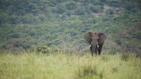 Afrikanischer Elefant, der im grünen Gras steht Stockbilder