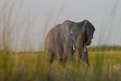 Afrikanischer Elefant, der im Gras sich versteckt lizenzfreies stockbild