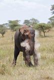 Afrikanischer Elefant, der Leistung zeigt Lizenzfreies Stockfoto