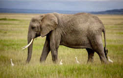 Afrikanischer Elefant, der mit vier Kuhreihern geht Lizenzfreies Stockfoto