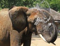 Afrikanischer Elefant, der weg durch das Spritzen des Wassers abkühlt Stockbilder