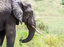 Afrikanischer Elefant-Fütterung Stockbilder