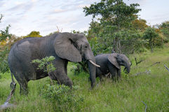 Afrikanischer Elefant-Familie in Südafrika Lizenzfreie Stockbilder