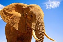 Afrikanischer Elefant gegen blauen Hintergrund Stockbilder
