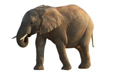 Afrikanischer Elefant - getrennt Lizenzfreies Stockfoto