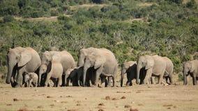 Afrikanischer Elefant-Herde stock video