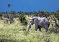Afrikanischer Elefant im Nxai Pan National Park in Botswana lizenzfreie stockfotografie