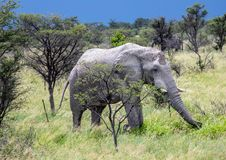 Afrikanischer Elefant im Nxai Pan National Park in Botswana stockfotos