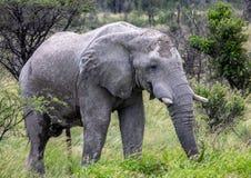 Afrikanischer Elefant im Nxai Pan National Park in Botswana lizenzfreie stockbilder