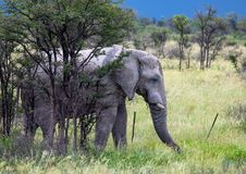 Afrikanischer Elefant im Nxai Pan National Park in Botswana stockbild