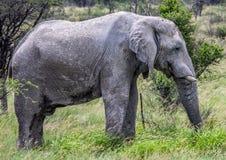 Afrikanischer Elefant im Nxai Pan National Park in Botswana lizenzfreies stockfoto
