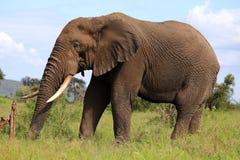 Afrikanischer Elefant im wilden Stockfotos