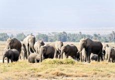 Afrikanischer Elefant im wilden lizenzfreie stockfotografie