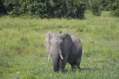 Afrikanischer Elefant im wilden stockfoto
