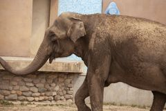Afrikanischer Elefant im Zoo stockbilder