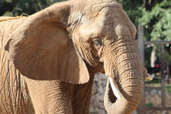 Afrikanischer Elefant im Zoo Lizenzfreie Stockfotos