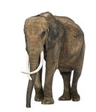 Afrikanischer Elefant, lokalisiert Lizenzfreie Stockbilder