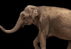 Afrikanischer Elefant lokalisiert auf schwarzem Hintergrund lizenzfreie stockbilder
