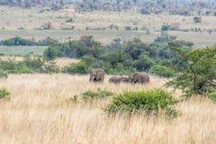 Afrikanischer Elefant: Loxodonta Stockfotografie