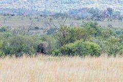 Afrikanischer Elefant: Loxodonta Lizenzfreies Stockbild