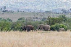 Afrikanischer Elefant: Loxodonta Stockbilder