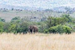 Afrikanischer Elefant: Loxodonta Lizenzfreie Stockbilder