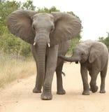 Afrikanischer Elefant (Loxodonta Africana) Stockfoto