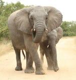 Afrikanischer Elefant (Loxodonta Africana) Lizenzfreie Stockfotos