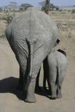 Afrikanischer Elefant, Loxodonta africana Lizenzfreies Stockfoto