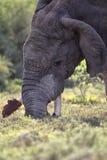Afrikanischer Elefant (Loxodonta africana) Lizenzfreies Stockfoto