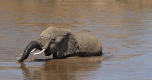 Afrikanischer Elefant, Loxodonta africana, erwachsener Überfahrt Fluss, Masai Mara Park in Kenia, stock footage