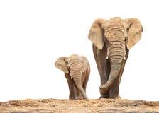 Afrikanischer Elefant - Loxodonta africana Familie stockfotografie