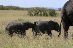 Afrikanischer Elefant, Loxodonta africana, Familie, die in der Savanne am sonnigen Tag weiden lässt Massai Mara Park, Kenia, Afri stockfotos