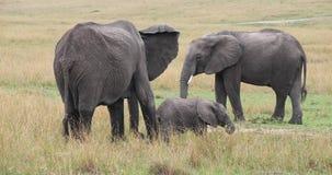 Afrikanischer Elefant, Loxodonta africana, Gruppe, die Gras, Masai Mara Park isst, in Kenia, stock video footage