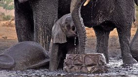 Afrikanischer Elefant, Loxodonta africana, Gruppensprühwasser an trinkendem Pool, nahe Chobe-Fluss, Botswana, stock video