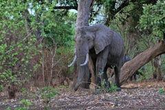 Afrikanischer Elefant, Loxodonta africana, im Süd-Nationalpark Luangwa, Sambia Stockfotos