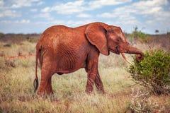 Afrikanischer Elefant Loxodonta africana, rot vom Staub, grazin lizenzfreie stockfotos