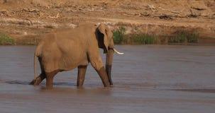 Afrikanischer Elefant, Loxodonta africana, weiblicher Überfahrt Fluss, Samburu-Park in Kenia, stock video