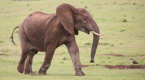 Afrikanischer Elefant-Mann lizenzfreie stockfotos