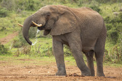 Afrikanischer Elefant-Mann, der im wilden trinkt Stockfotos