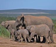 Afrikanischer Elefant-Matriarch und Familie Lizenzfreies Stockfoto