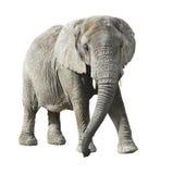 Afrikanischer Elefant mit Ausschnittspfad lizenzfreie stockbilder