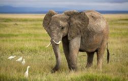 Afrikanischer Elefant mit den gebogenen Stoßzähnen Lizenzfreie Stockfotografie