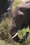 Afrikanischer Elefant mit den Stoßzähnen Stockfotografie