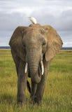 Afrikanischer Elefant mit Kuhreiher Lizenzfreie Stockfotos