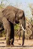 Afrikanischer Elefant in Nationalpark Chobe Lizenzfreie Stockfotos
