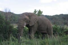 Afrikanischer Elefant in Südafrika lizenzfreies stockfoto